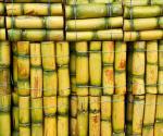 Vị thuốc dân gian tuyệt vời từ cây mía đường